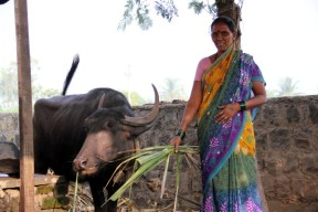 Your loan will help Sumitra Kamble and Group to expand buffalo rearing businesses
